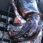 Un calamaro gigante pescato nelle acque del golfo dell'Asinara